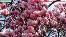 Saucer magnolia-Beautiful flowers(Magnolia × soulangeana)