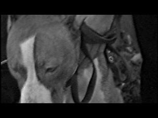 Американский пит-бультерьер Анфисолика (Кэтти) октябрь 2002 год