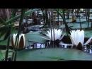 Water lilies Водяные лилии mp4