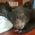 Free the Bears on Instagram Happy moon bear Monday. Laos Rescues #69 and #70, rescued last week, have already gained strength and confidence in t...