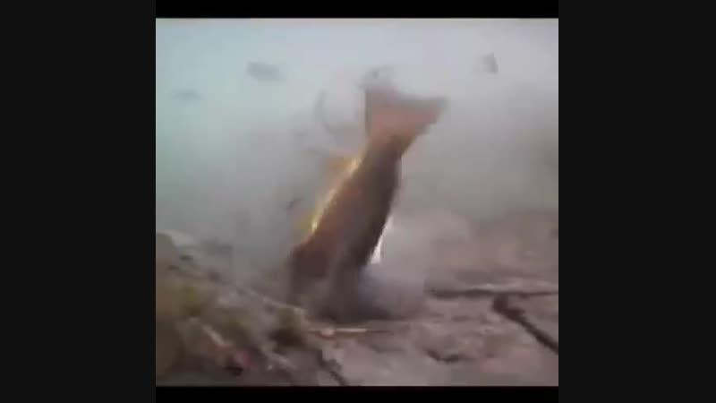 щука напала на форель