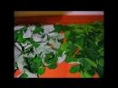 Ферментированный чай из листьев малины и вишни своими руками