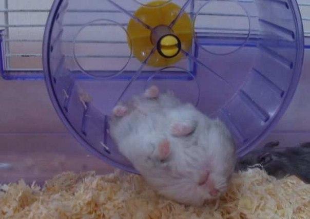 Морские свинки спячка