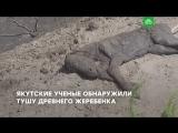 Научная сенсация: в Якутии нашли древнего жеребенка