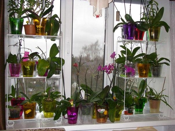 чай из синей орхидеи купить
