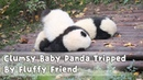 Clumsy Baby Panda Tripped By Fluffy Friend | iPanda