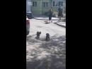 Ворона пытается разнять двух котов или же подстрекатель