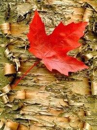Отцвели цветы, падают листья, птицы молчат, лес пустеет и затихает.ОСЕНЬ. - Страница 6 ZSP5Gh30we4