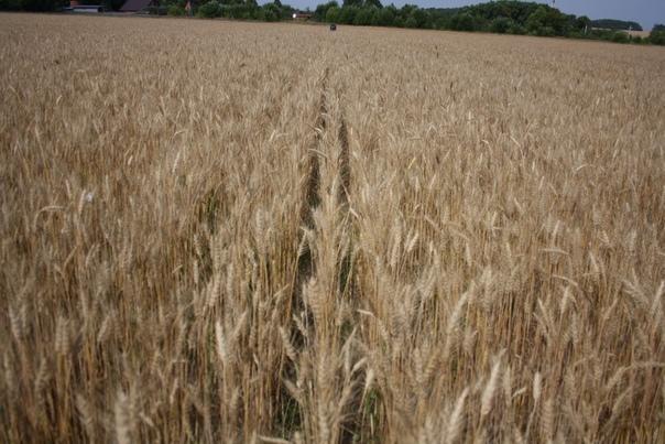 Тут мы почти не вытаптываем пшеницу. Вот два рядка, одну ногу в один рядок, другу в другой и пропускаешь колоски между ног — удобно.