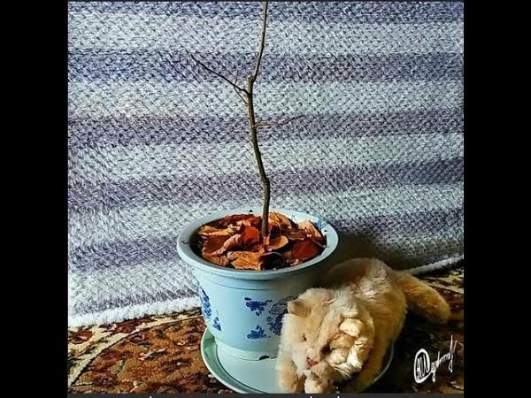 Пересадка яблони бонсай