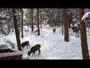 DJI Osmo Pocket Short 4K Clip of Deer in Yard - Bucks Spar