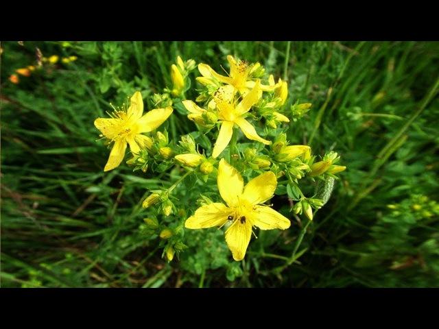Зверобой. Полезные, лечебные свойства травы, противопоказания, рецепты народной...