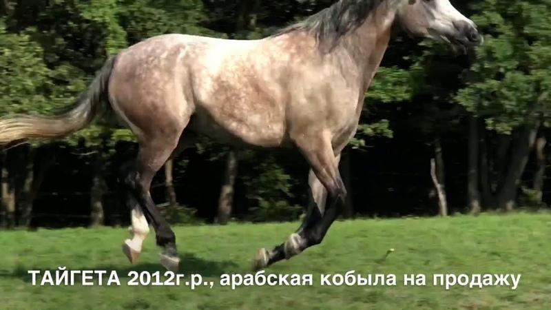 Продажа лошадей конефермы Эквилайн, тел., WhatsApp 79883400208 (ТАЙГЕТА 2012г.р.)