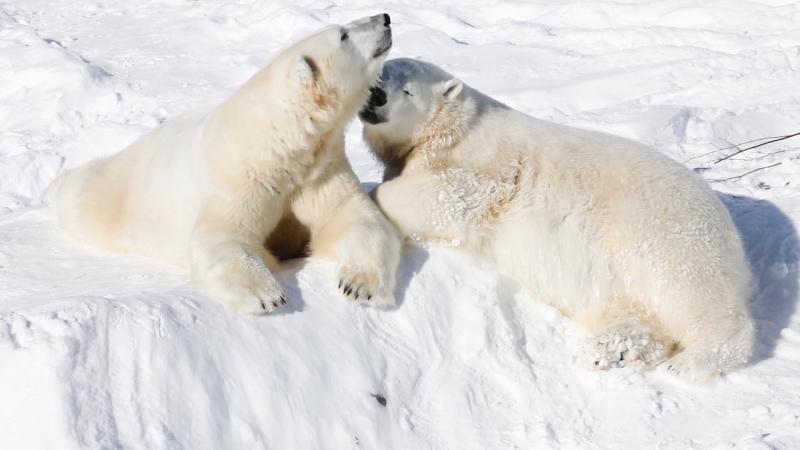 Белые медведи наслаждаются весной в зоопарке Рануа