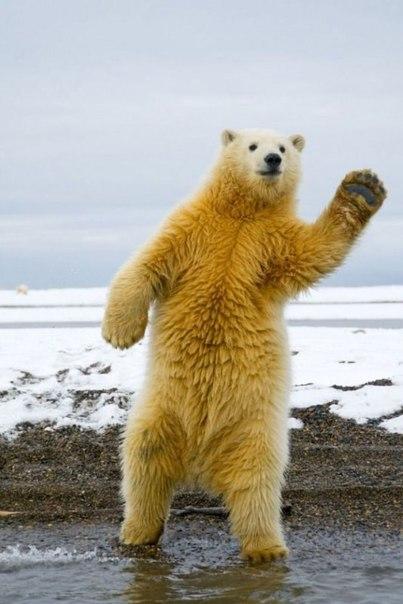 Забавные фотографии полярного медведя, который явно в
