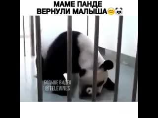 Панде вернули малыша