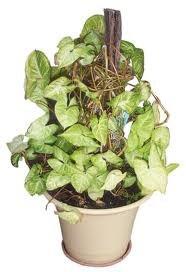 чернаямагия - Магия растений. Магические свойства растений. Обряды и ритуалы. Амулеты и талисманы из растений.  Z_F1SFMAnbg