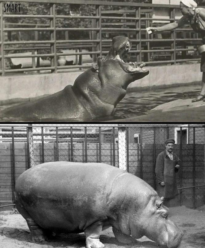 Как в Ленинградском зоопарке спасали бегемотиху во время войны.