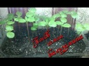 Выращивание бальзамина посев семян в домашних условиях