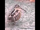 Cute African Dancing Bird Funny Indian Music!