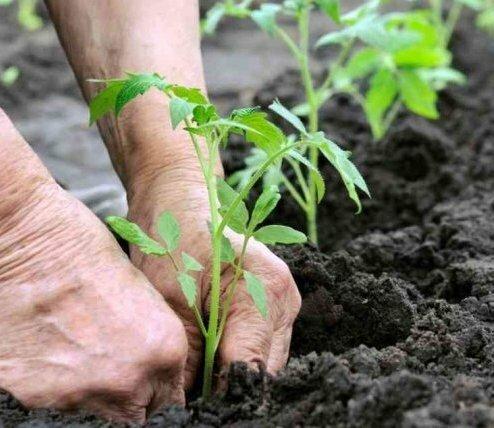 Минимум стресса при пересадке... Ни для кого ни секрет, что пересаживая рассаду в почву на постоянное место роста, мы создаем стрессовую ситуацию растениям. Так как именно эта процедура лишает