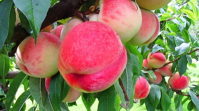ВЛИЯНИЕ ЛЕТНЕЙ ОБРЕЗКИ НА УРОЖАЙ. Как увеличить размер персиков.