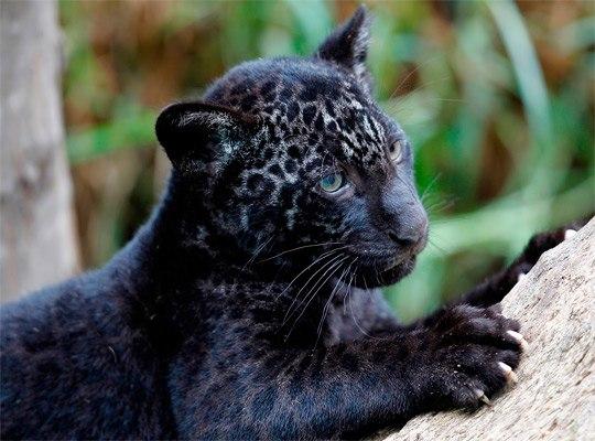 Самые красивые кошки ягуары♥ updated the