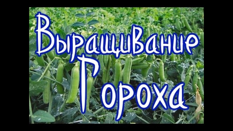 Выращивание гороха (самый лучший способ реанимировать почву)