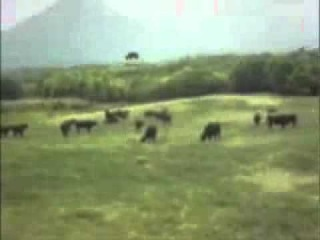 Снято как нло похищает корову 1 07