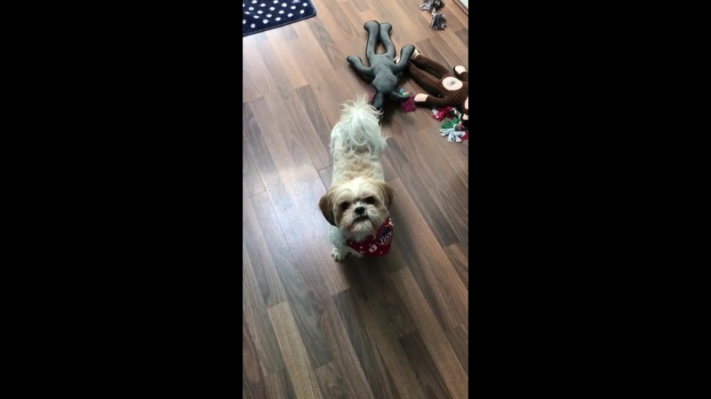 Dog plays The floor is lava