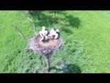 Семья дальневосточного аиста в гнезде