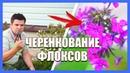 Флоксы как размножить Как черенковать многолетние флоксы в домашних условиях Деревня в Подмосковье