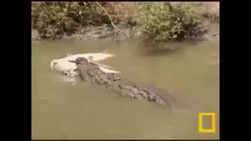 Крокодилы охотятся на водную добычу
