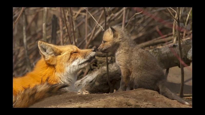 Как звери весну встречают? Детям про зверей весной.