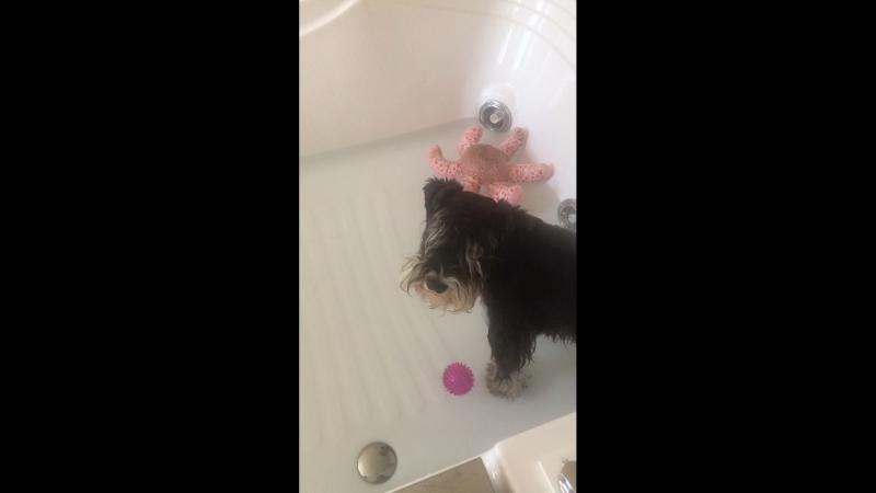 Начало мытья цвергшнауцера