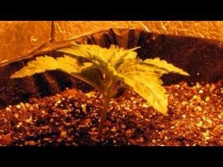 Как вырастить коноплю. Часть 3