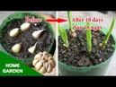 Trồng Tỏi không còn là khó đối với những người chưa có kinh nghiệm làm vườn Growing Garlic