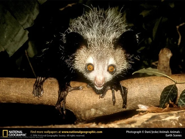 ЧЁРТИК Ай-ай (лат. Daubentonia madagascariensis), или Мадагаскарская руконожка, была открыта в 1780 году путешественником Пьерром Соннера на западном берегу Мадагаскара. Сами мадагаскарцы,