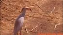 Amazing Egret Struggles to Swallow Big Gopher,bird,Bubulcus ibis