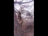 Адские челюсти))бойцовый пес.питбуль Pit Bull ataka