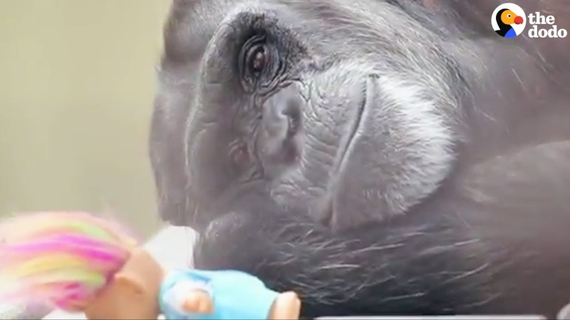 Rescued Chimp's Dolls Make Her Feel Safe - FOXIE | The Dodo