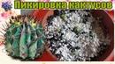 Пикировка сеянцев кактусов выращенных в перлите в домашних условиях Часть 3