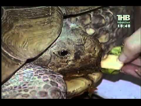 Шпороносная черепаха, казанский зооотсад