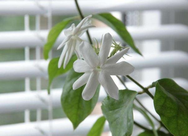 Жасмин комнатный Этот красивый цветок не имеет абсолютно ничего схожего с тем, что растет на пригородных участках и в цветниках. А все же нет, домашний цветок по праву жасмином называется, а вот