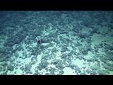 Создание) рыба пеликан- Gulper Eel Balloons Its Massive Jaws
