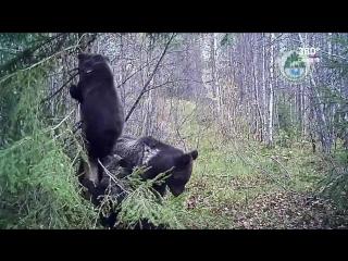 Ситуация с медведями в Карелии выходит из-под контроля?