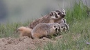 Baby Badgers Playing with Mom