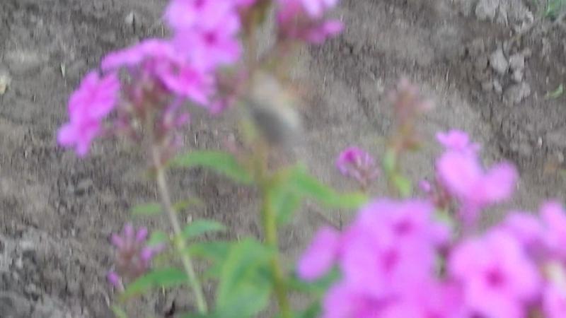 Бабочка бражник колибри в моем палисадике