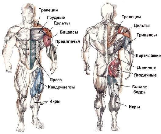 схема строения мышц