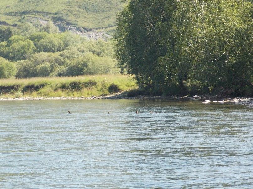 Утки-крохали  на реке Чарыш
